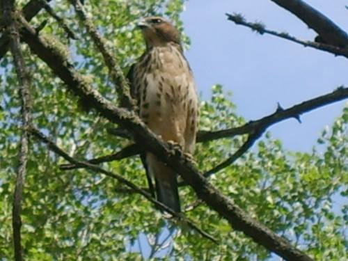 Hawk Hanging Around Trout Lake Resort