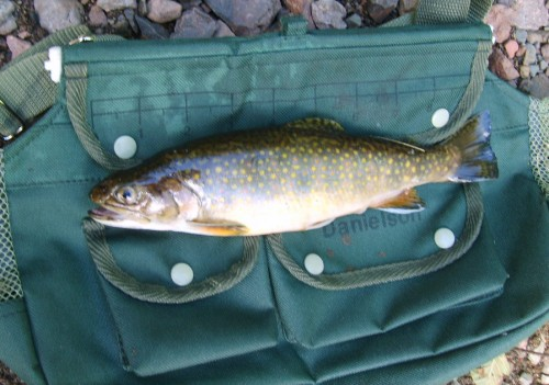 Brook Trout on Creel
