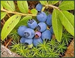 Ripe blueberries on the forest floor.