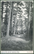 Gunflint_Pines