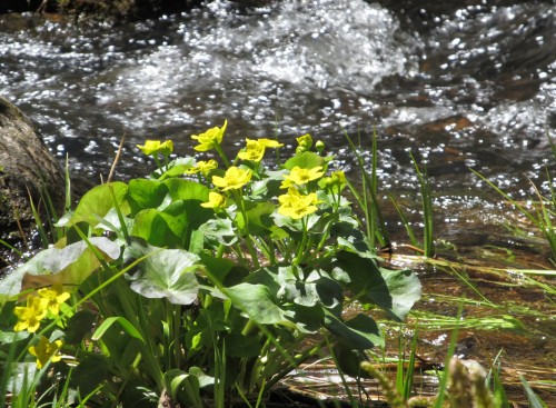 Marsh Marigolds at Trout Lake Resort